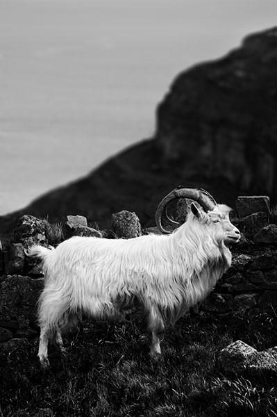 Wild Kashmiri Goat - Great Orme