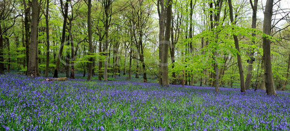 Foxholes nature reserve, Bluebells  2