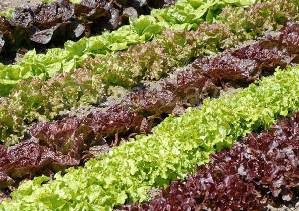 Lettuces