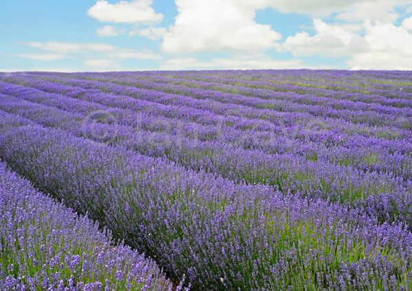 Snowshill lavender farm, Glos