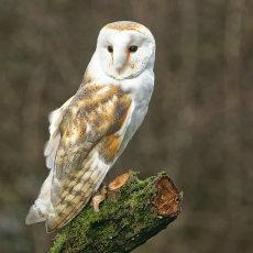 Barn owl 004