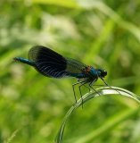 BANDED DAMSEL FLY