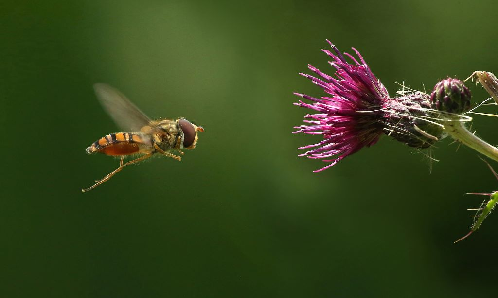 HOVER FLY AND THISTLE