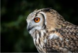 ITS ALL ABOUT THE EYE-BENGAL EAGLE OWL