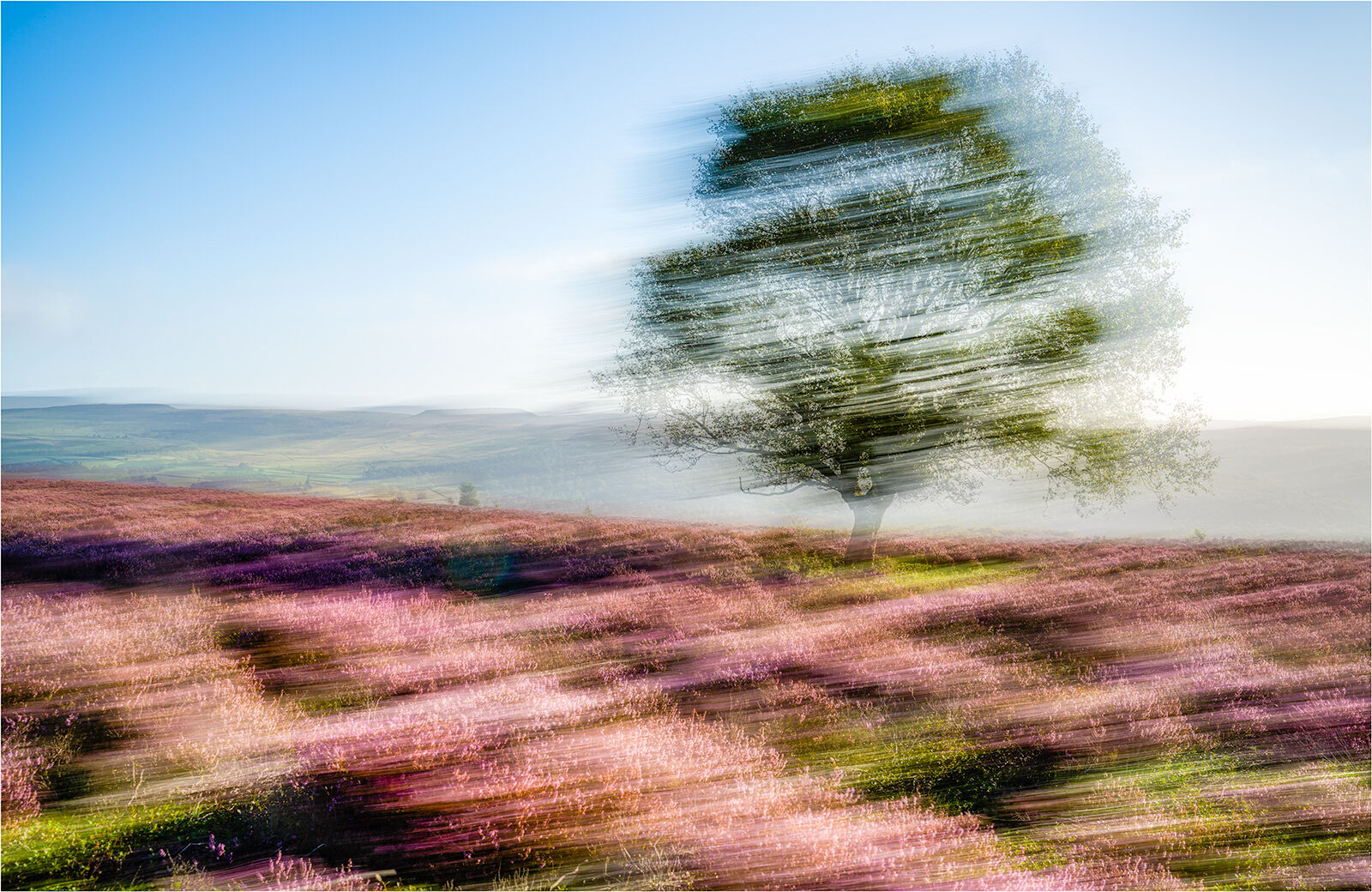 LONE TREE AT HEATHER TIME