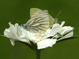 MATING GREEN-VEINED BUTTERFLIES