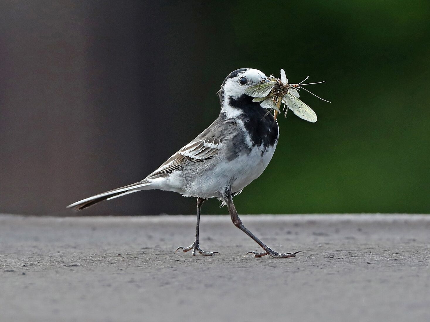 PIED WAGTAIL WITH MAYFLIES