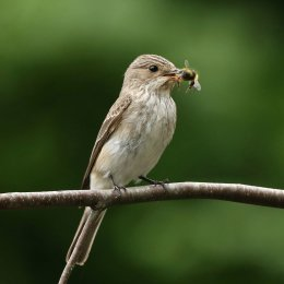 SPOTTED FLYCATCHER WITH BEE