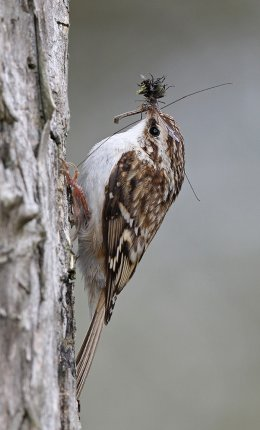 TREECREEPER WITH INSECTS