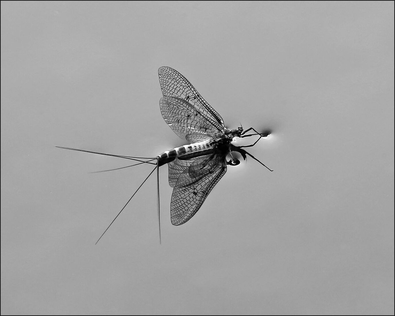 WALKING ON WATER - NEWLY EMERGED MAYFLY