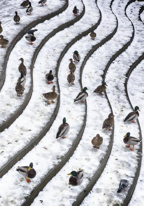 Ducks Hebden Bridge