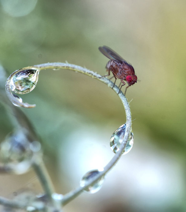 Red Fly with Raindrops