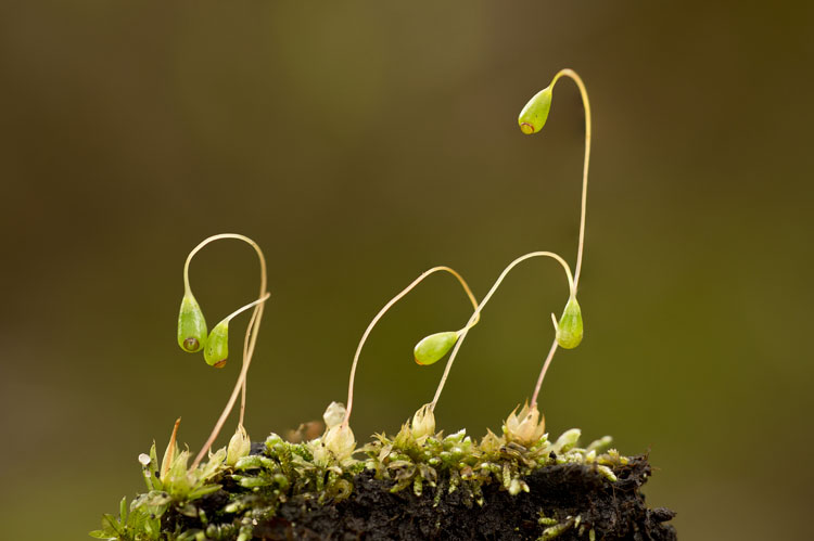 Moss Sporophytes 1