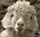 Sheep with a Perm