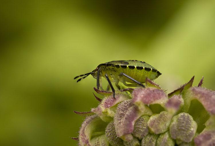 Sheild Bug