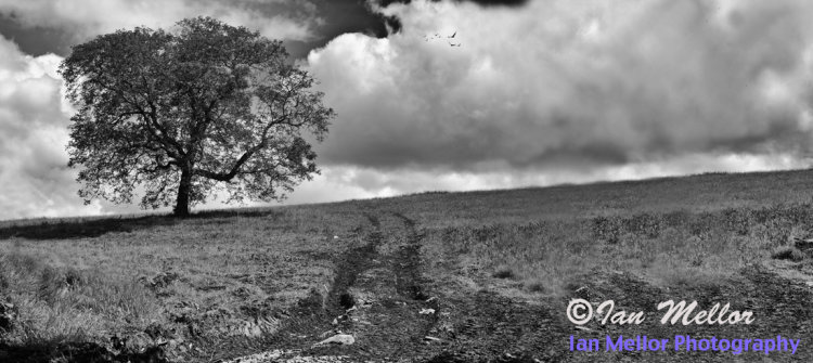 Cotswolds Tree
