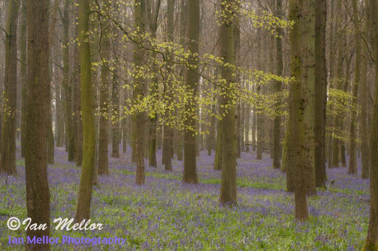 Dockey Wood Bluebells 2