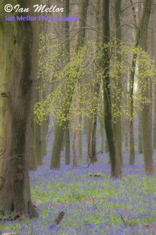 Dockey Wood Bluebells 4