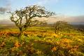 Hawthorns near Combestone Tor (2)