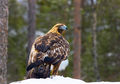 Golden Eagle (1)
