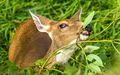 Black-tailed Deer (1)