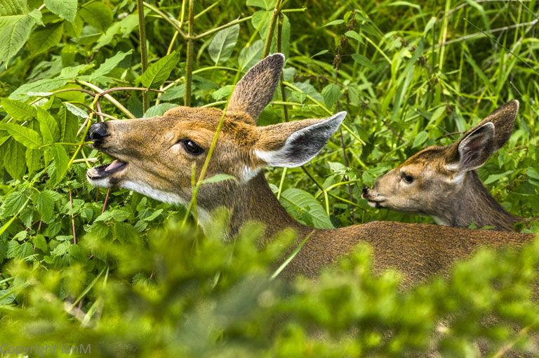 Black-tailed Deer (2)