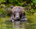 Grizzly (3)