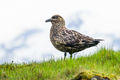 Great Skua (1)