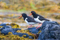 Oystercatchers (1)