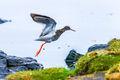 Redshank (1)