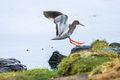 Redshank (2)