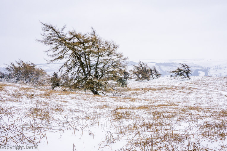 Windswept Trees in Winter