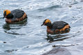 Slavonian Grebes