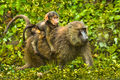Olive Baboons (1)