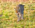 Leopard (2)