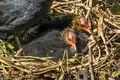 Coot Chicks (1)