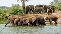 Elephants Drinking (1)
