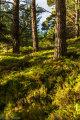 Abernethy Forest (1)