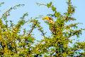 Eastern Yellow-billed Hornbill (1)