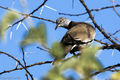 African White-winged Dove