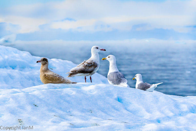 Gulls in Disko Bay
