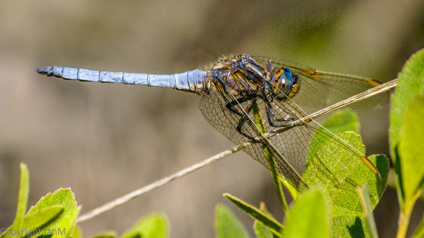 Keeled Skimmer (Male)