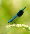 Banded Demoiselle (Male)