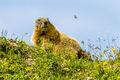 Marmot (2)