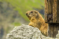 Marmot (5)