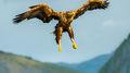 White-tailed Eagle (3)
