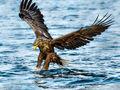 White-tailed Eagle (4)