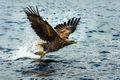 White-tailed Eagle (6)