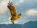 White-tailed Eagle (8)