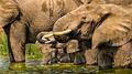 Elephants Drinking (2)
